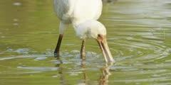 Spoonbill - searching for food, medium close shot 2