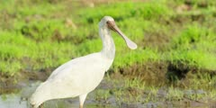 Spoonbill - searching for food, medium shot
