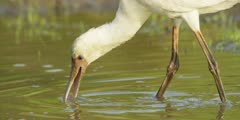 Spoonbill - searching for food, medium close shot 3