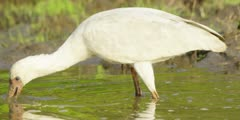 Spoonbill - searching for food, medium close shot 4