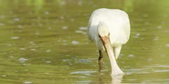 Spoonbill - searching for food, medium shot 2