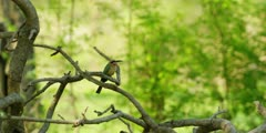 White-fronted bee-eater - perched on branch, wide shot