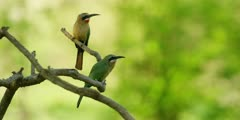 White-fronted bee-eater - pair on branch, one flies off, medium shot