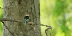 Brown-hooded kingfisher - on branch, medium wide 3