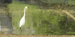Great egret - wading into water, medium shot
