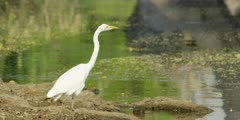 Great egret - standing next to pool, medium close shot