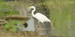 Great egret - standing in water then walks out, medium shot