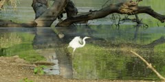 Great egret - standing in water then flies away, wide shot