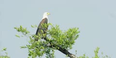 African fish eagle - perched on top of tree, medium shot