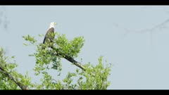 African fish eagle - perched on top of tree, wide shot