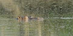 Hippo - sleeping in water, close shot