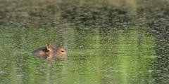 Hippo - opens eyes, close shot