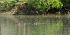 Hippo - pod in pool, wide shot