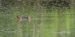 Hippo - submerges, close shot