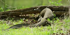 Nile monitor - digging for food under log, medium shot