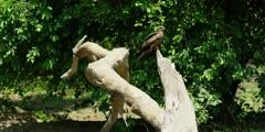 Yellow-billed kite - on dead tree, wide