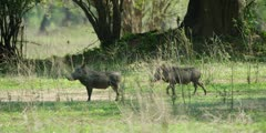 Warthog - pair walking, medium shot