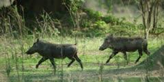Warthog - pair running, medium close shot