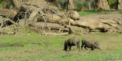 Warthog - group grazing, medium shot