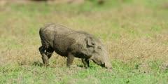 Warthog - grazing, medium shot