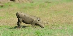 Warthog - grazing on knees, medium shot