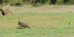 Warthog - grazing on knees, wide shot
