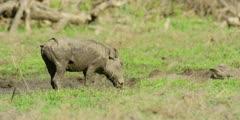 Warthog - grazing next to mud wallow, medium shot