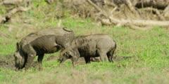 Warthog - pair grazing, medium shot