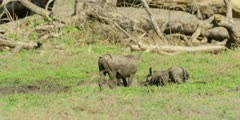Warthog - pair grazing, wallowing, medium wide shot