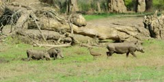 Warthog - group with hamerkop, medium wide shot
