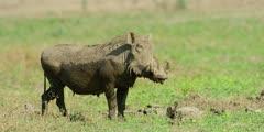 Warthog - standing on grass, medium shot