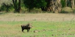 Warthog - standing on grass, wide shot
