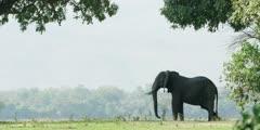 African Elephant - Large bull on banks of the Zambezi