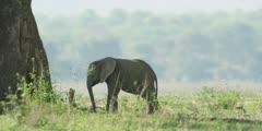African Elephant - baby on banks of the Zambezi