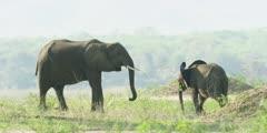 African Elephant - baby and young elephant on banks of the Zambezi