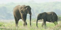 African Elephant - baby and young elephant on banks of the Zambezi 2