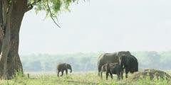 African Elephant - herd with baby on banks of the Zambezi
