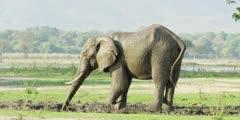 African Elephant - spraying himself with mud, medium shot