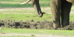 African Elephant - spraying himself with mud, close shot