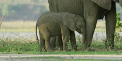 African Elephant - baby walks to mother