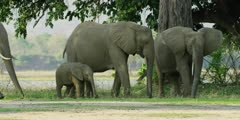 African Elephant - baby with herd