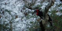 Ground Hornbill - in tree at dawn