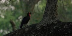 Ground Hornbill - in tree at dawn standing on trunk