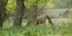 Hyena - walking away with piece of carcass