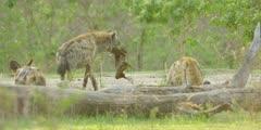 Wild dog - hyena steals kill