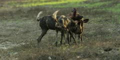 Wild dog - pup following mother, begging for scraps