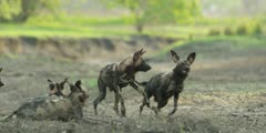 Wild dog - pack play fighting in riverbed, medium shot