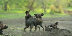 Wild dog - pack play fighting in riverbed, medium shot 2