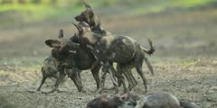 Wild dog - pack play fighting in riverbed, medium shot 3