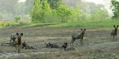 Wild dog - pack relaxing in riverbed, wide shot